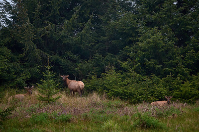 Elk in the morning at Gold Bluffs Beach