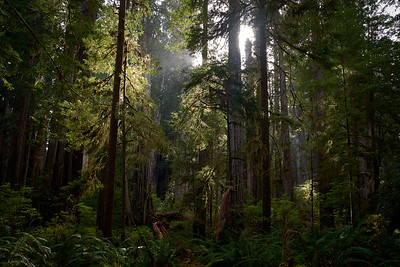 The afternoon sun making its way through the redwoods at Redwood National State Park
