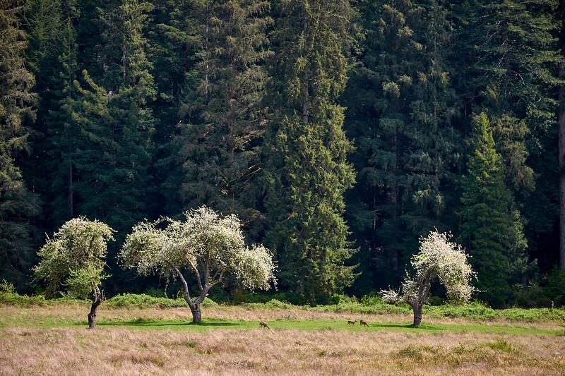 Elk grazing along Highway 101 at Redwood National State Park