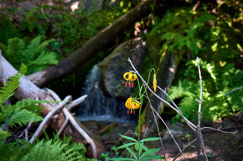 Leopard Lilys along the High Sierra Trail