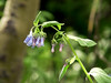 """Tall Chiming Bells"" - Mertensia ciliata - Borage -bluish clusters -<br /> Rocky Mountains Montane to Alpine. Wet and damp areas."