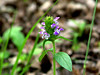 """Self Heal"" ""Heal All"" Sicklewort ""Heart Of The Earth"" ""Carpenter weed"" Selfheal - Prunella Vulgaris. SE Missouri, wooded hillside"
