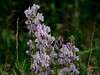 """A bit of LOCO... Pea family """"Rocky Mountain Loco"""" maybe """"Oxytropis sericea"""" not the pure White Loco... probably had an affair with """"Colorado Loco"""" (Oxytropis lambertii) Plains to Montane dry hillsides, meadows. Locoweed"""