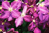 from 35mm film: purple climatis...