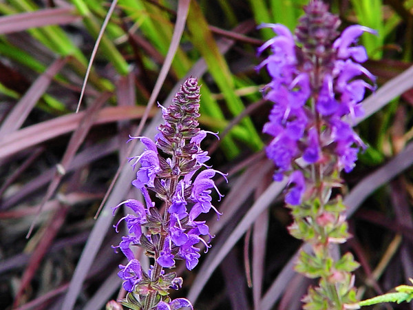 "A nursery variety purple salvia (sage) In the background is a variety of Purple ""fountain grass"" - Pennisetum setaceum"