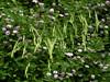 "Canada Brome - Bromus pubescens - (also classified as ""Bromus purgans"") fam. poaceae<br /> Crown Vetch background...SE Missouri"