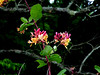 Likely Trumpet honeysuckle; Coral honeysuckle -  Lonicera sempervirens