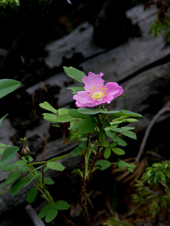 """""""Wild Rose"""" - Rosa woodsii - Pinkish with yellow stamens and pistils. In Rocky Mountains plains to subalpine. open dryer areas, hillsides, meadows, etc."""