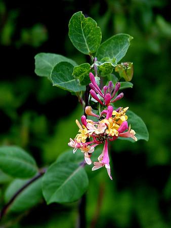 Likely Trumpet honeysuckle; Coral honeysuckle -  Lonicera sempervirens