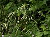 "Canada Brome - Bromus pubescens - (also classified as ""Bromus purgans"") fam. poaceae<br /> Crown Vetch background... SE Missouri"