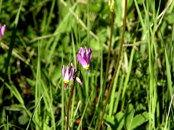 """Shooting Star""  Dodecatheon pulchellum (Primrose)<br /> Rocky Mountains - foothills to subalpine - near streams"
