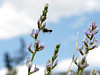 Silvery Lupine (and friend)- Lupinus argenteus - light blue, tall stem.<br /> Rocky Mountains foothills to subalpine. Meadows, fields.<br /> (The friend is a Snowberry Clearwing or Bumblebee Moth...Hemaris diffinis)
