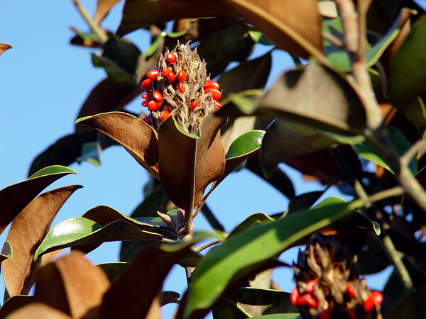 Magnolia Grandiflora (Bracken's Brown Beauty) seed pod