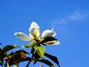 Magnolia Grandiflora (Bracken's Brown Beauty)