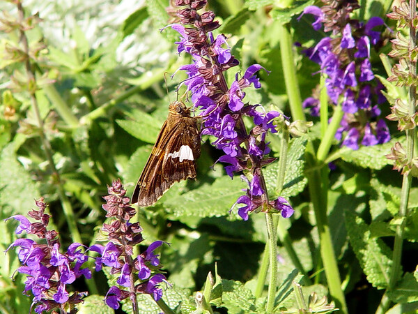 Silver-Spotted Skipper Butterfly - Epargyreus clarus - (purple Salvia)