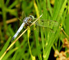 cropped, low resolution dragonfly