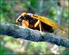 Magicicada, Cicada Brood XIV (?) June 2008; Franklin County KY (crop)