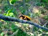 Magicicada, Cicada Brood XIV (?) June 2008; Franklin County KY