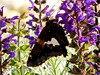 Crop-out: Silver-Spotted Skipper Butterfly - Epargyreus clarus - (purple Salvia)