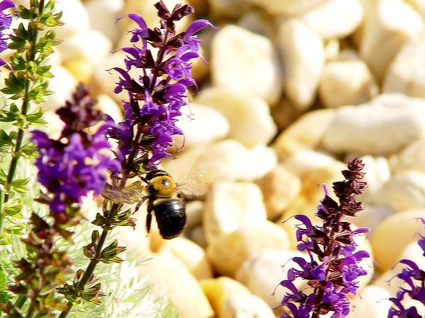 Bumblebee on Salvia