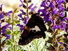 Crop-out: Silver-Spotted Skipper Butterfly - Epargyreus clarus - (purple Salvia)