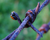 Ladybug at Sunset (crop)(00072)