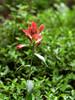 "Scarlet Paintbrush - Castilleja miniata - (Figwort) Rocky mountains Montane to lower subalpine. ""Indian Paintbrush"""