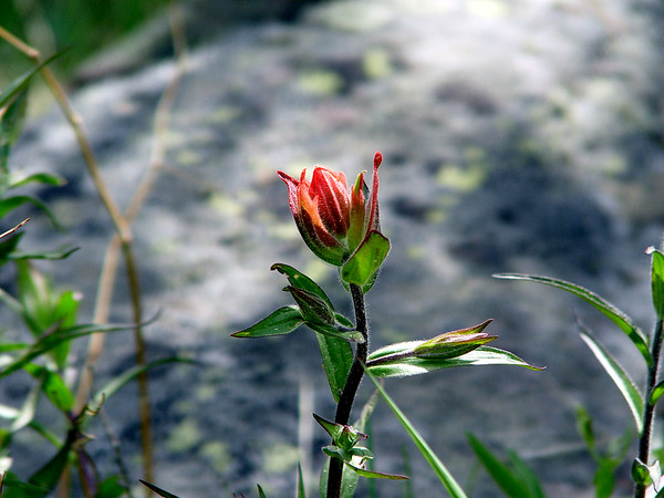"""Possibly """"Rosy Paintbrush"""" - Castilleja rhexifolia - similar to the Scarlet Paint brush in this gallery (Figwort) Rocky mountains subalpine. """"Indian Paintbrush"""""""
