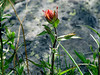 "Possibly ""Rosy Paintbrush"" - Castilleja rhexifolia - similar to the Scarlet Paint brush in this gallery (Figwort) Rocky mountains subalpine. ""Indian Paintbrush"""