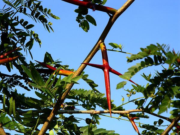 Honey Locust Thorns- Lethal Weapon<br /> Kentucky