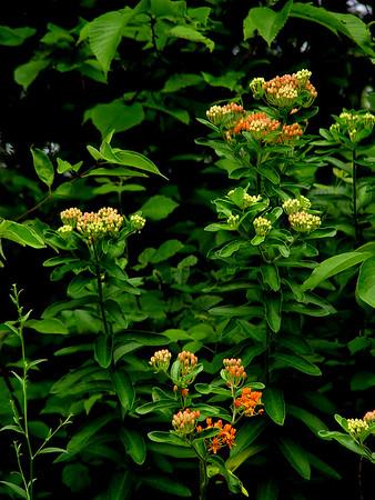 Milkweed; Butterfly Weed - Asclepias tuberosa - Orange  SE Missouri