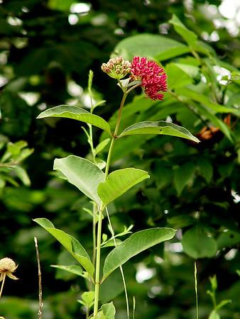 Milkweed; Butterfly Weed - Asclepias tuberosa - Red  SE Missouri