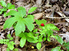 "Golden Seal (Hydrastis Canadensis). Mid-July... with cluster of red berries. This section of wooded hillside in Southeast Missouri is abundant with this medicinal herbal...""Eye Balm"" ""Eye Root"" ""Ground Raspberry"" ""Indian Dye"" ""Indian Paint"" ""Jaundice Root"" ""Orange Root"" ""Turmeric Root"" ""Warnera"" ""Wild Curcuma"" ""Yellow Puccoon"" ""Yellow Root"""