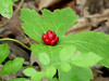 """Golden Seal (Hydrastis Canadensis). Mid-July... with cluster of red berries. This section of wooded hillside in Southeast Missouri is abundant with this medicinal herbal...""""Eye Balm"""" """"Eye Root"""" """"Ground Raspberry"""" """"Indian Dye"""" """"Indian Paint"""" """"Jaundice Root"""" """"Orange Root"""" """"Turmeric Root"""" """"Warnera"""" """"Wild Curcuma"""" """"Yellow Puccoon"""" """"Yellow Root"""""""