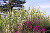 """008_08a   Nikon N-65 35mm Fuji SuperHQ 400<br /> in foreground: PURPLE LOOSESTRIFE (Lythrum salicaria L.) Beautiful as it may be, this invasive plant is """"plantia"""" non-gratia in more and more of the United States. Loosestrife alters the chemical and hydrological processes in wetlands. The leaves of the purple loosestrife decompose quickly in the fall resulting in a nutrient flush. Leaves of native species decompose in the spring. This release of nutrients at a time of little primary production results in significant alterations of wetland function. This plant also clogs flowing water sources. For more detailed information on purple loosestrife and treatment methods, please visit  <a href=""""http://www.invasive.org/eastern/biocontrol/11PurpleLoosestrife.html"""">http://www.invasive.org/eastern/biocontrol/11PurpleLoosestrife.html</a>."""