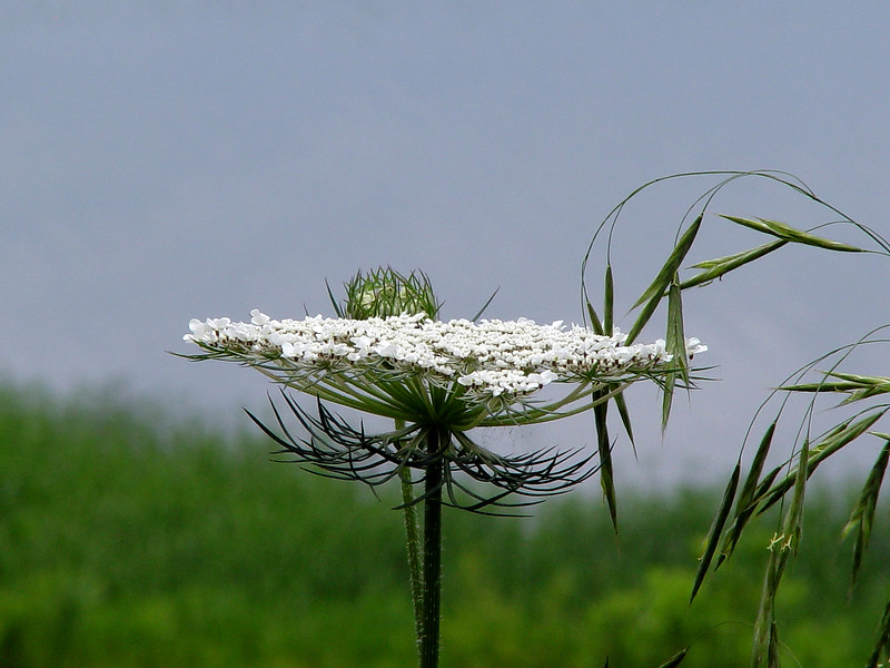 Wild Carrot; Queen Anne's Lace - Daucus carota - (Canada Brome nodding in on the right...) SE Missouri