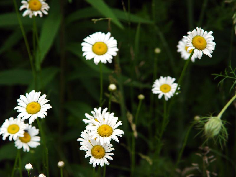 Ox-Eye Daisy - Chrysanthemum leucanthemum - Aster family - SE Missouri