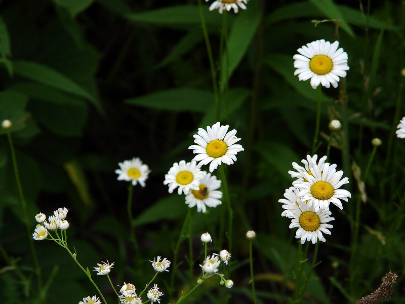 Ox-Eye Daisy - Chrysanthemum leucanthemum - Aster family - SE Missouri<br /> (Daisy Fleabane lower left)