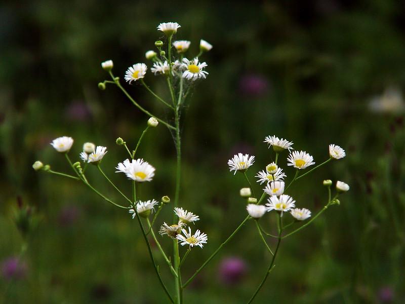daisy fleabane; prairie fleabane; rough fleabane - Erigeron strigosus - SE Missouri