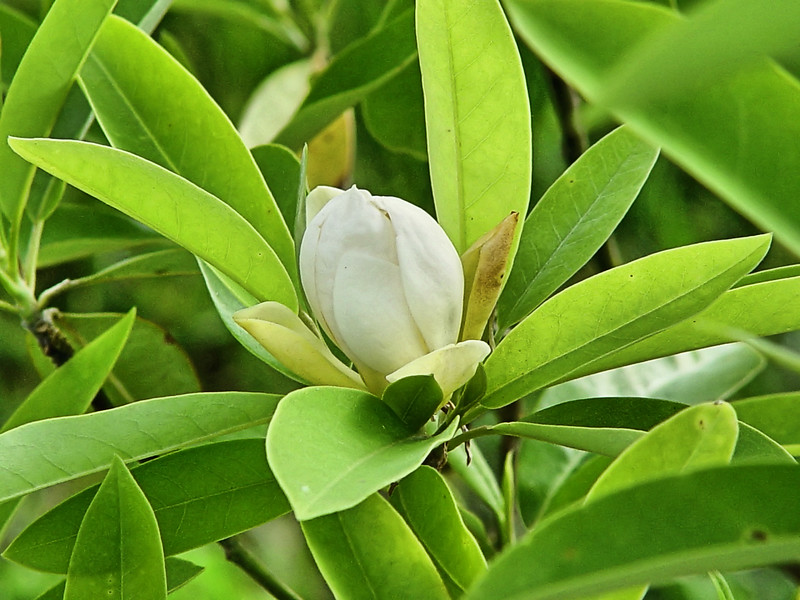 "Magnolia virginiana ""Henry Hicks"" sweet bay magnolia"