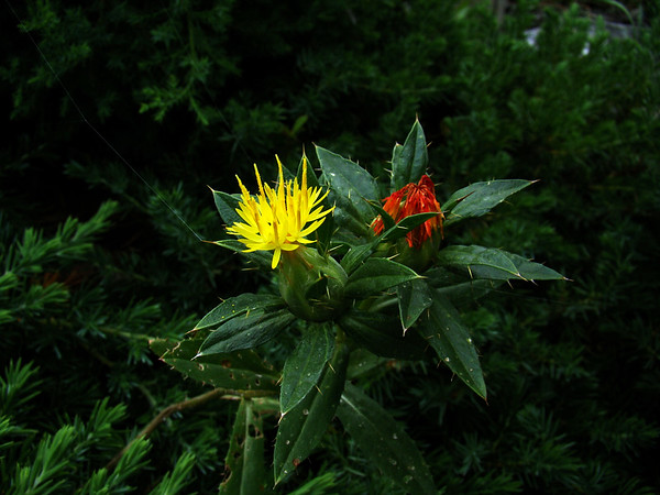 Ok... not sure. Some variation on Yellow Thistle, Aster, or Artichoke.
