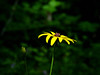 """Most likely """"rosinweed sunflower"""". Missouri.  Helianthus silphioides  (aster family)"""
