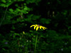 "Most likely ""rosinweed sunflower"". Missouri.  Helianthus silphioides  (aster family)"