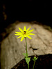 "Heartleaf Arnica ""Arnica cordifolia"" Rocky Mountains Montane and subalpine. Moist forest areas."