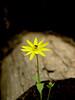 "Heartleaf Arnica ""Arnica cordifolia"" Rocky Mountains Montane and subalpine. Moist forest areas."