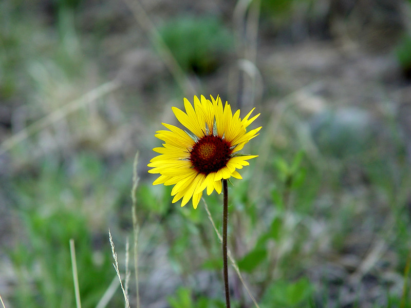 Blanketflower - Gaillardia aristata - (Aster)  Rocky Mountains hillsides, meadows. Plains to Montane