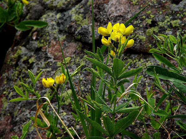 """""""Golden Banner"""" """"Goldern Pea"""" - Thermopsis divaricarpa - Rocky Mountains Foothills to Subalpine. These on a hillside, partially shaded... about 18 inches tall."""