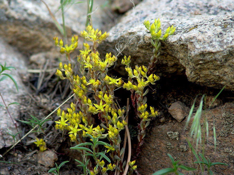"Yellow Stonecrop ""Amerosedum lanceolatum"". Sunny dry rocky areas.  Plains to Alpine. Rocky Mountains about 9500 feet."