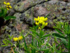 """Golden Banner"""" """"Goldern Pea"""" - Thermopsis divaricarpa - Rocky Mountains Foothills to Subalpine. These on a hillside, partially shaded... about 18 inches tall."""