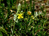 "One of the Cinquefoils?... maybe ""Potentilla anserina""? Don't know what the spike is..."